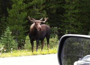 It's better than a wildlife park! Hello Moose.